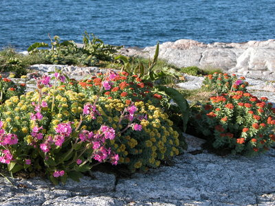 Blomsterprakt på Kvitholmen